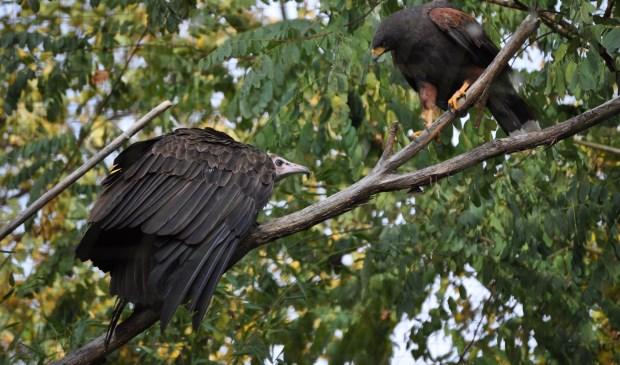 Ook de gieren krijgen een nieuw verblijf. Foto: ZooParc Overloon.