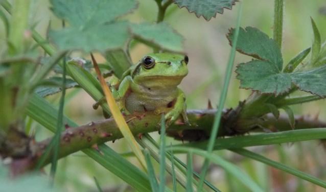Een boomkikker in z'n natuurlijke omgeving. Foto: Tarik Stark