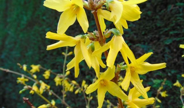 Bijzonder aan de bloei van de forsythia is dat de bloemen op kaal hout verschijnen en uitbundige bloeien met gele klokjesbloemen.