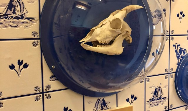 """Door het zien van een geitenschedel kunnen bezoekers leren wat een geit eet. Op een bordje onder de schedel staat: 'Ik ben een planteneter. Ik heb lange snijtanden waarmee ik planten afknaag."""""""