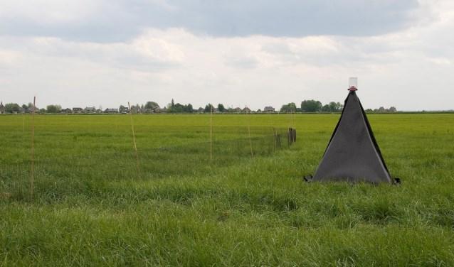 Een piramideval in grasland.  (foto Wim Dimmers)