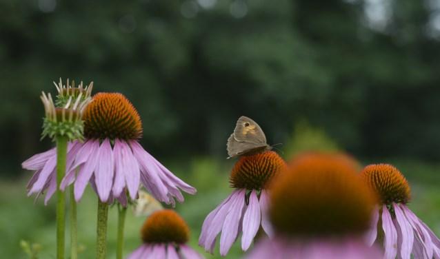 De rode zonnehoed (Echinacea) is een vlinderlokkende plant