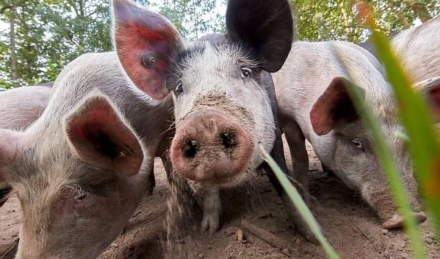 Herenboeren Soest e.o. is van plan ook varkens te houden.(Foto: Herenboeren Soest e.o.)