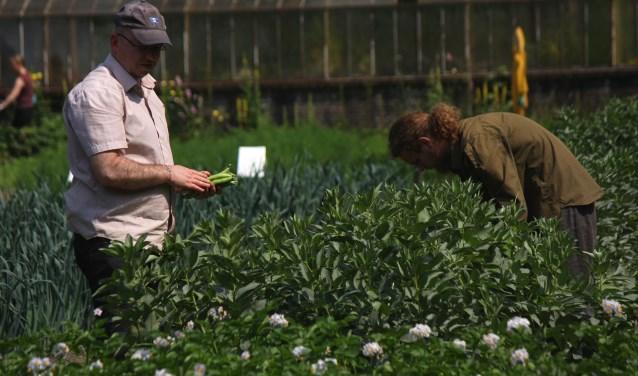 zelf tuinbonen oogsten FOTO: Tuinderij Eyckenstein