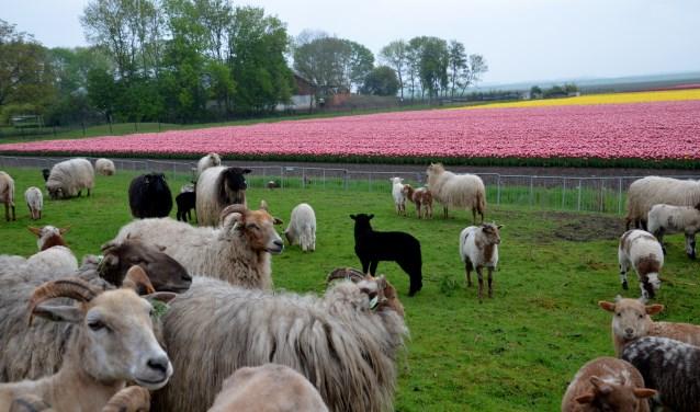 Bloembollenvelden Flevoland