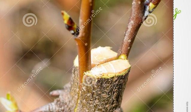 enten van fruitboom