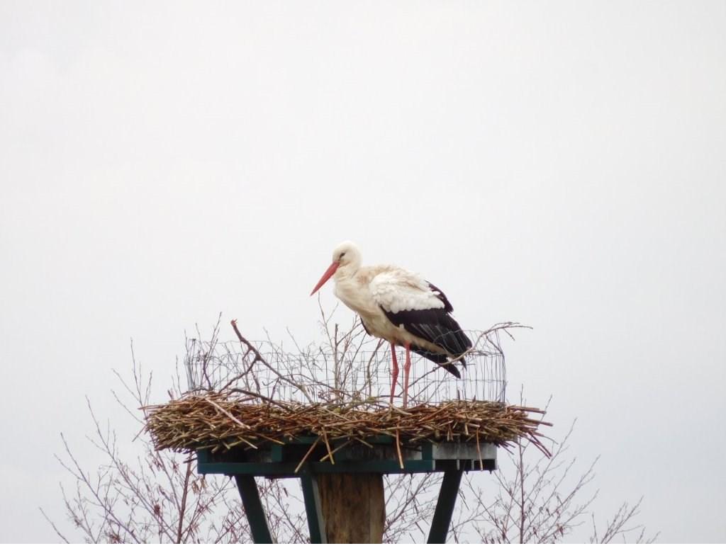 Ooievaar op zijn nest. Foto: Johan van den Berg Foto: Johan van den Berg © Persgroep