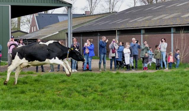 Koeiendans Melkveebedrijf van Leeuwen in Heenvliet. Foto: Roel van Deursen