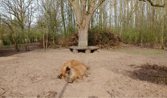 In het Veldhuizerbos lopen al twee jaar vier Hongaarse wolvarkens rond. Het is weer tijd voor nieuwe varkens.