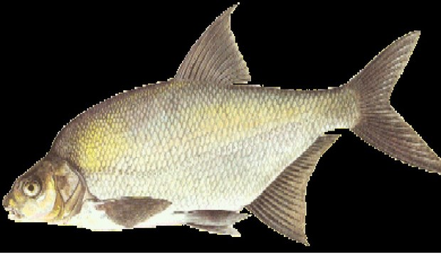 Een brasem; één van de vissen die op 12 mei boven water zouden kunnen worden gehaald.