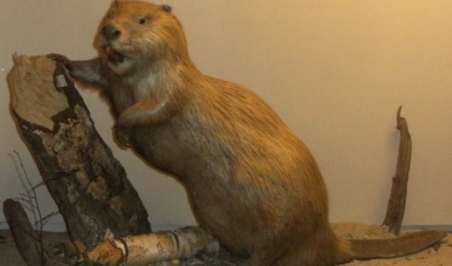 In het natuurmuseum Holterberg is een bever van dichtbij te bekijken.