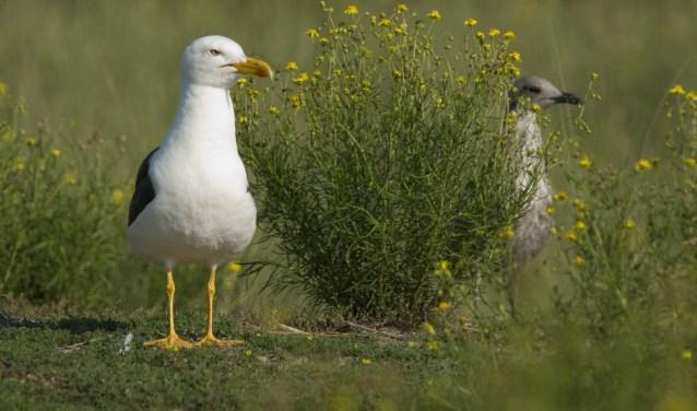 Het duingebied op Neeltje Jans langs de N57 heeft een grote aantrekkingskracht op kustvogels. FOTO: Rene Koster