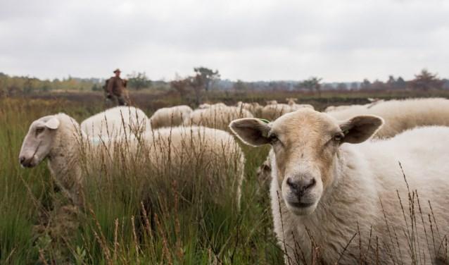 De schapen die de hei begrazen. Foto: Pieter Cox.