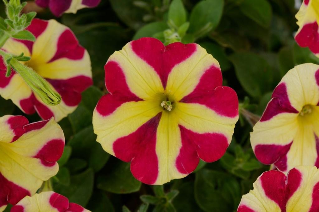 Petunia Amore, met in elke bloem vijf afbeeldingen van een hart, die je daarmee als het ware uitnodigen deze plant in je hart te sluiten.
