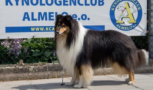Tijdens de Clubmatch van KCA worden allerlei honden gekeurd door officiële keurmeesters.