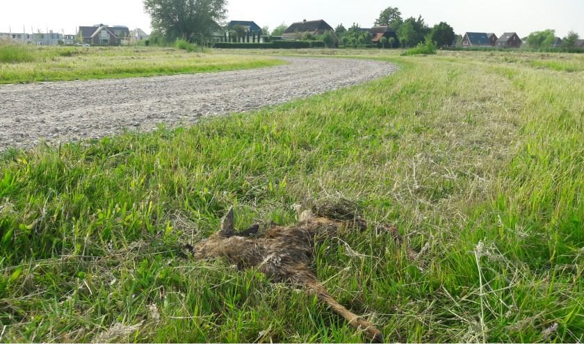 Dit reekalf van amper een week oud heeft de maaiactie niet overleefd. De RUD-inspecteur heeft het in zijn rapport verwerkt. Op de achtergrond huizen aan de Dragonderweg. (Foto: Martin Brink/Rijnpost)