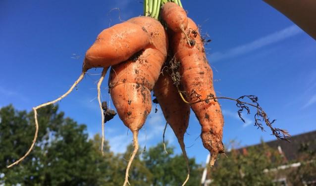 Na de zomervakantie kun je wilde wortels oogsten uit de Zoetermeerse klei! Foto schooltuin Zoete Aarde, 2016