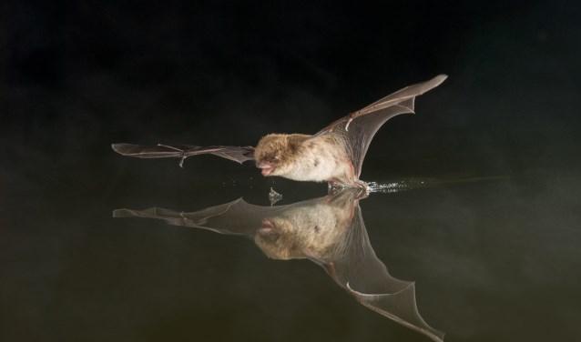 Een jagende watervleermuis staat op het punt een insect te scheppen met de vlieghuid die tussen zijn achterpoten zit. (Foto: Paul van Hoof).