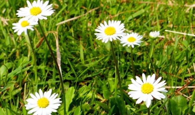 De madeliefjes zijn bloemetjes om te koesteren, geef ze een plaatsje in het gazon. Een keer maaien kan geen kwaad: ze komen terug. FOTO: Rien de Schipper.