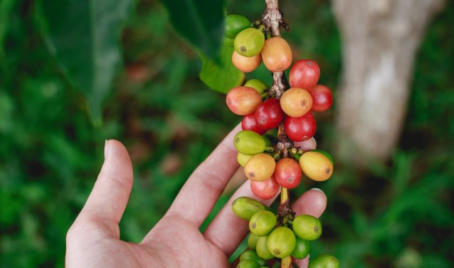 Koffieboon aan de plant. (foto: BuitenZinnig)