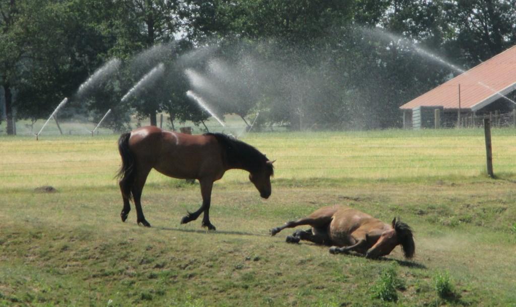 Paarden zoeken verkoeling in Ypelo. Foto: Janny Boertjes. Foto: Janny Boertjes © Persgroep