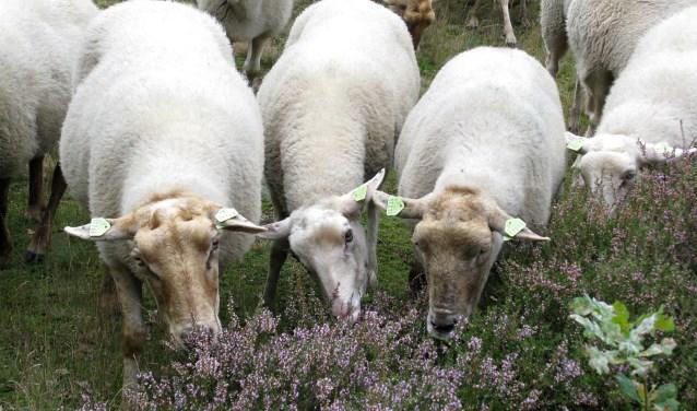 Het schapen scheren is op donderdag 14 juni 2018. Iedereen is welkom bij de Veldschuur van Staatsbosbeheer in Leersum.