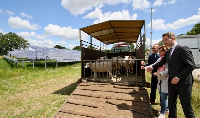De milieu- en energiewethouders v Arjan Teselink (Berkelland), Marieke Frank en Bart Porskamp laten een kudde schapen los op het zonnepark Laarberg.