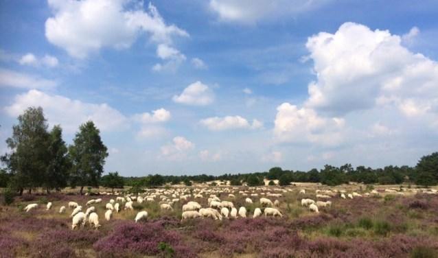 Zondag 8 juli verzorgt IVN Brabant van 10.00 tot 12.00 uur een wandeling naar de schaapskudde.