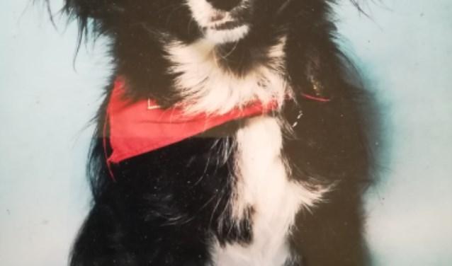 Vermiste Chihuahua Watervalweg Ermelo