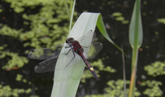 De gevlekte witsnuitlibel (Foto: Sander Elzerman)