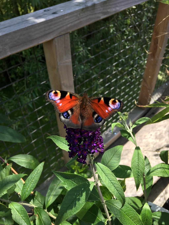 """""""Vlinders zijn soms net schilderijen, zoals deze dagpauwoog die in de achtertuin zat."""" Foto: Lize Drenth © Persgroep"""