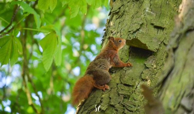 Eekhoorntje in het Wierdense veld. Foto: Susan Elbert.