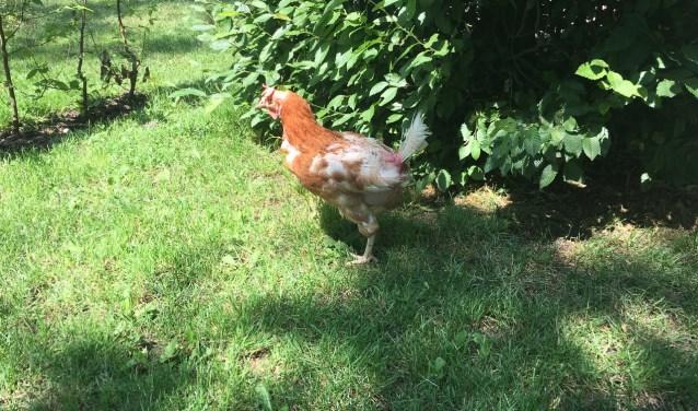 Wist je dat er nog altijd 6 miljoen kippen gevangen zitten in kooien op een bodem van draadgaas? En wist je dat je deze kip kan adopteren zodat ze haar laatste levensjaren in vrijheid en licht kan doorbrengen?
