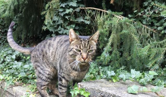 Heeft u Girlcat gezien, neem dan contact op met de eigenaresse. (foto: Heidi Ruijling Thompson)