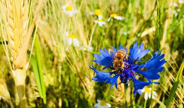De akkers rondom het Bergherbos zitten momenteel vol met leven. De korenbloemen zijn voor bijvoorbeeld (solitaire) bijen een welkome voedselbron. (foto: Janine Pelgrum)