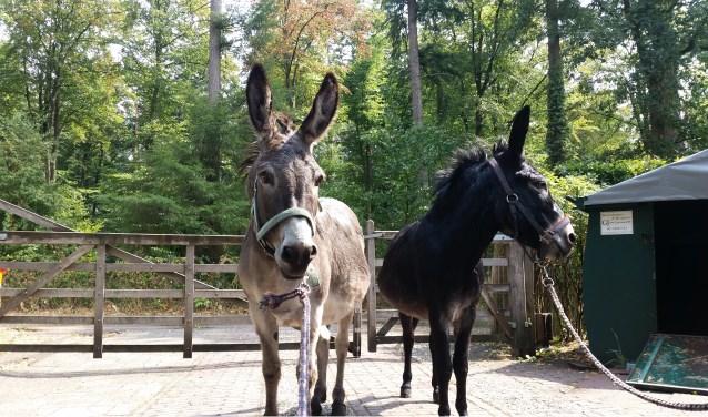 Charly (links) en Nimbus komen weer thuis, met een natte kuif en de schrik nog in de ogen.