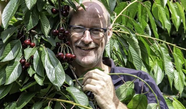 Bert van Schip tussen de takken en trossen kersen in zijn kersenboomgaard van één hectare groot. (foto: Wim Ham)