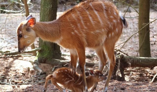 De kleine sitatoenga is een vrouwtje en heeft de naam Liena gekregen. (Foto: DierenPark)