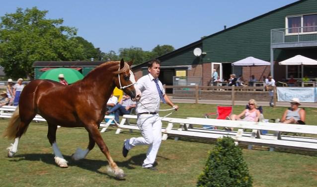De Welsh pony Mowcastle Magical Mystery valt in de smaak in Heteren en pakt een prijs tijdens de keuring. (foto: Kirsten den Boef)