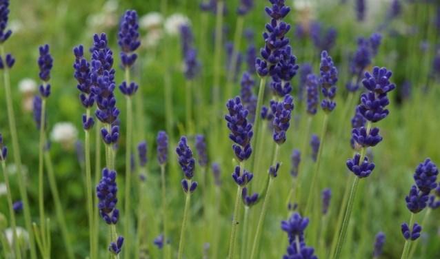 Koken met kruiden uit de natuur, zoals lavendel (Foto: Pixabay)