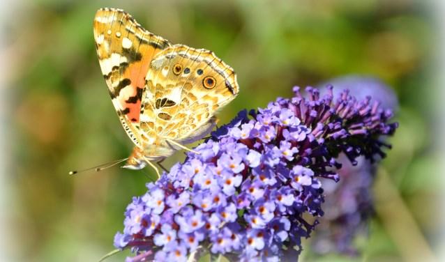 Hoe  mooi  is dat   een  vlinderstruik met een  prachtige  vlinder  ,dat  is  toch  wel  een  foto waard  !