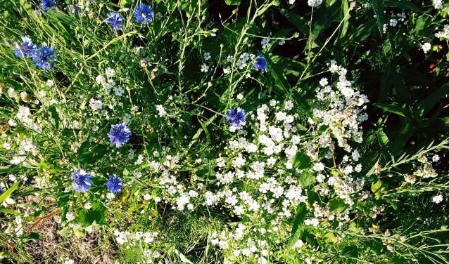 De bloemenlinten in Poederoijen staan uiteindelijk toch in bloei. Het heeft even geduurd omdat het wat later is ingezaaid en het weer erg droog is.