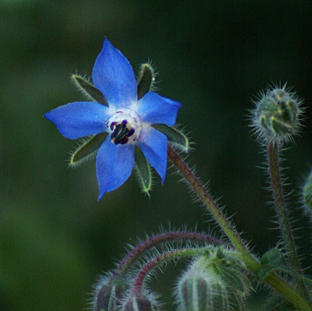 Wie weet de naam van deze blauwe bloem?  © Persgroep