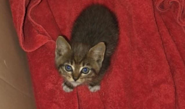 Gevonden kitten Bollengoed Putten