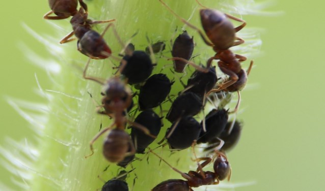 Melkende mieren