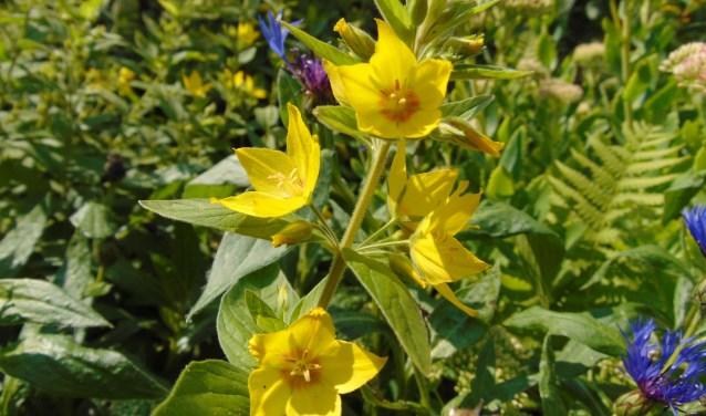 De puntwederik en de Spirea vormen in je tuin een mooi kleurrijk koppel.
