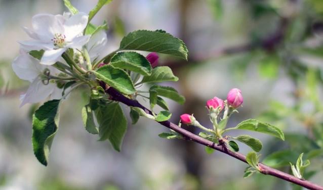 Appelbloesem in de Betuwe. Door mij geschoten in de boomgaard van Streekwinkel de Lingegaerdt te Elst