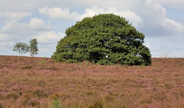 Bloeiende heide met een karakteristieke boom op de Sallandse Heuvelrug. Foto: Sallandse Heuvelrug.