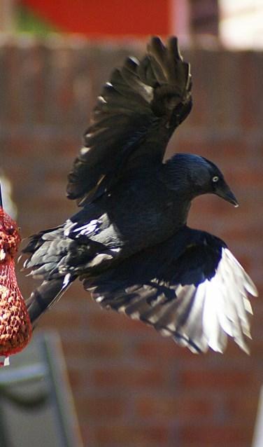 Kauwtje schrikt en vliegt weg na van de pinda's te hebben gegeten.