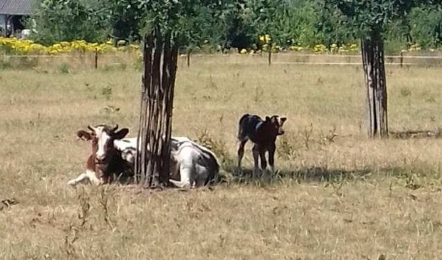 rood kalf met koe in zonnige wei